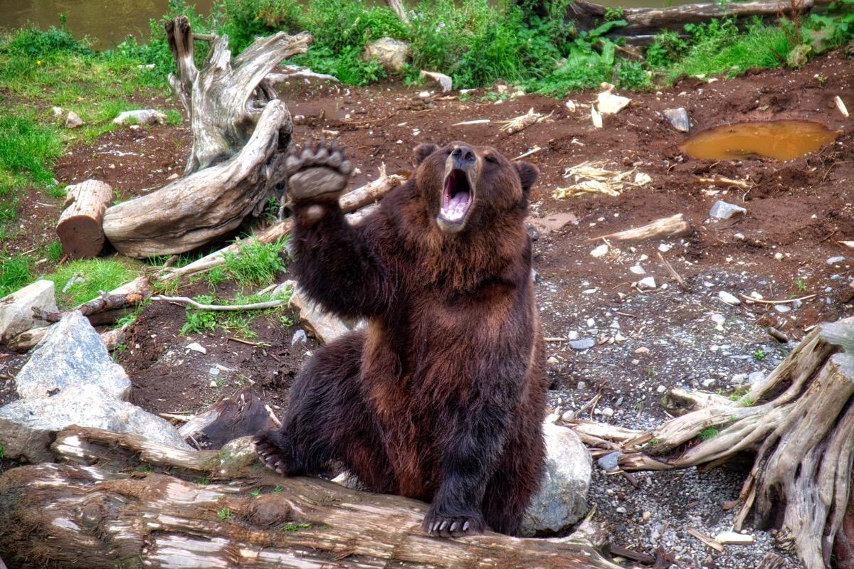 Sitka bear