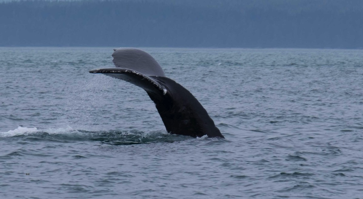 Humpback whale going down to feed