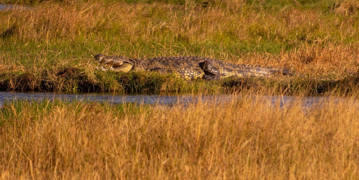Croc on bank