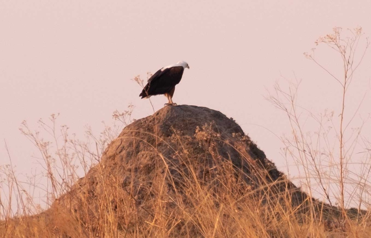 African fish eagle on mound