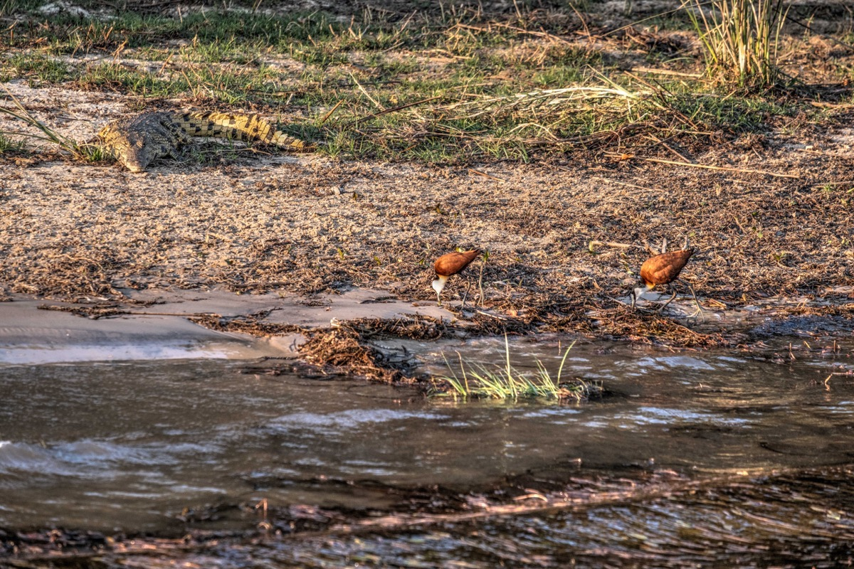 African jacanas and croc