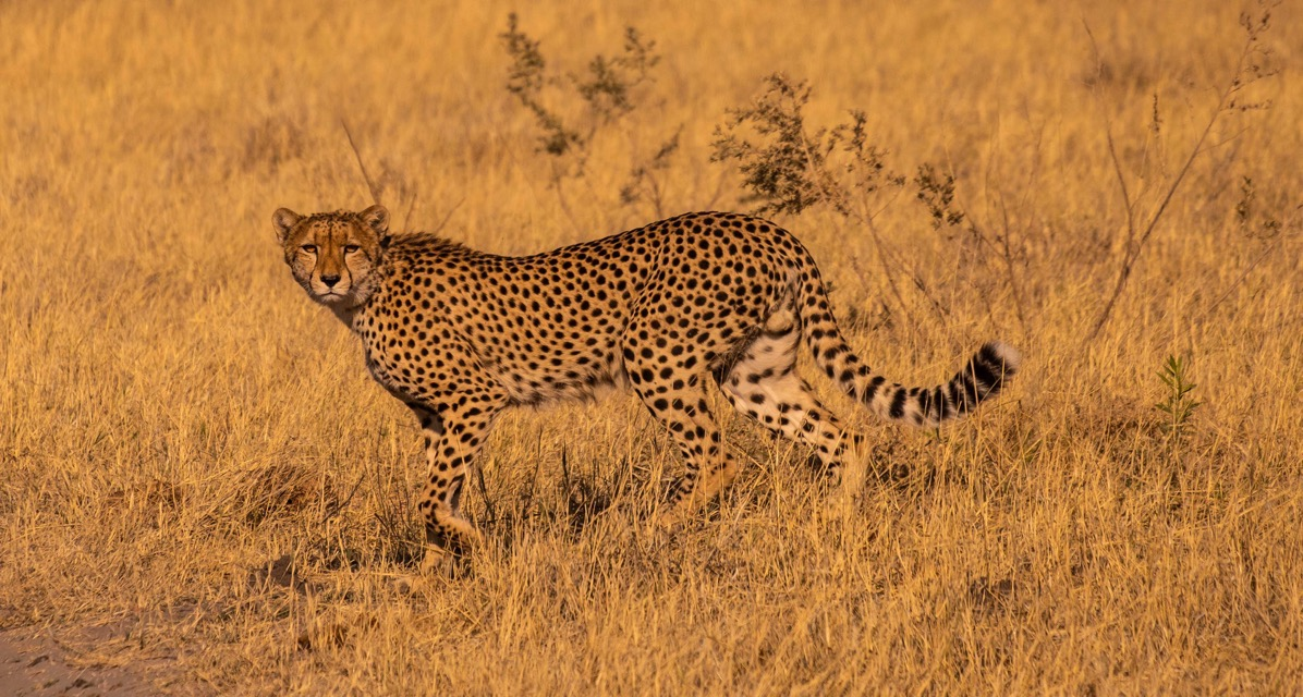 Cheetah walking and looking
