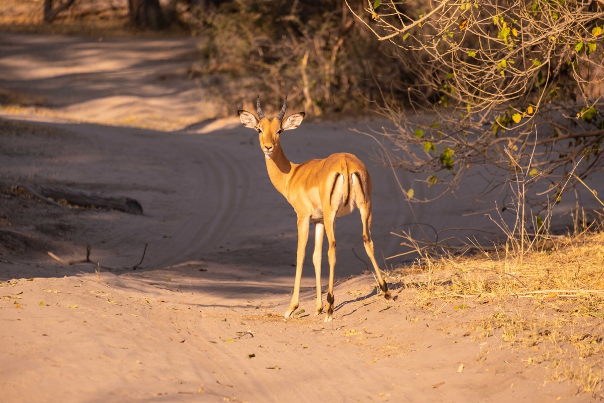 Female impala showing mcdonald butt