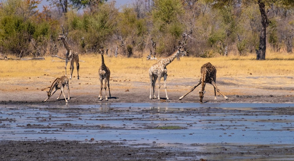 Giraffes at water hole