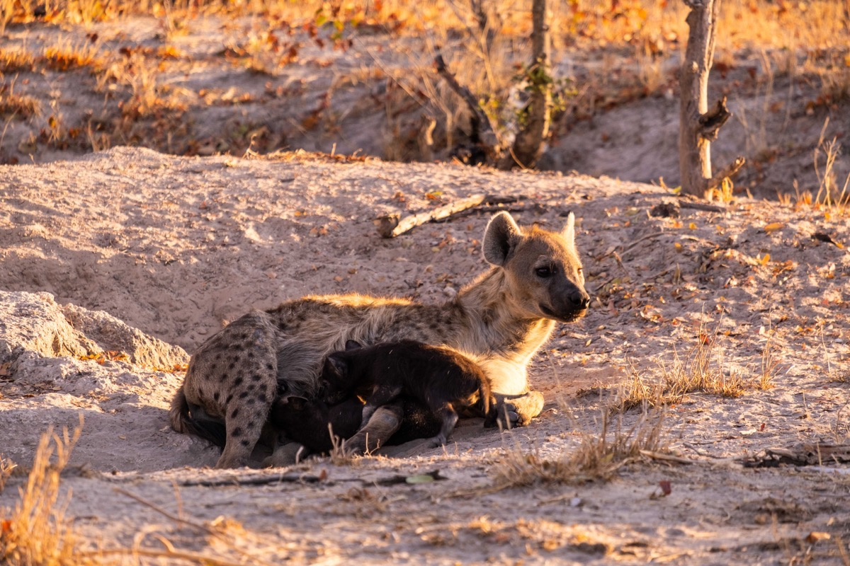 Hyena and nursing pups