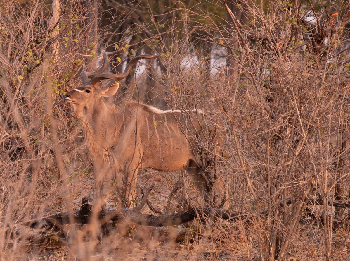 Kudu in  bushes 2