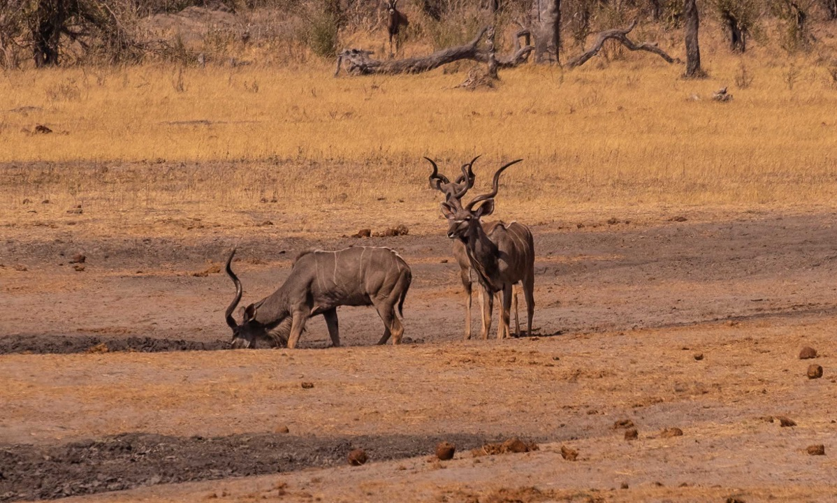 Kudus at watering hole