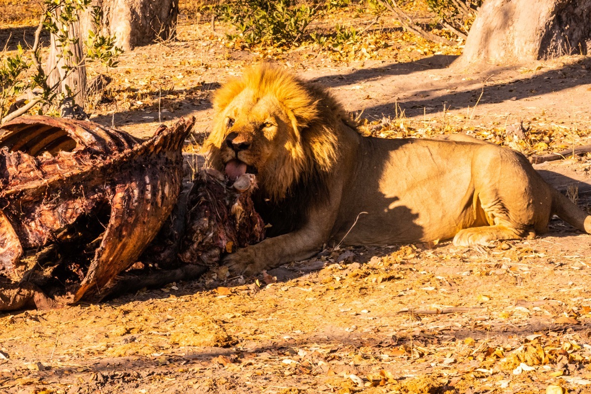 Lion with carcass