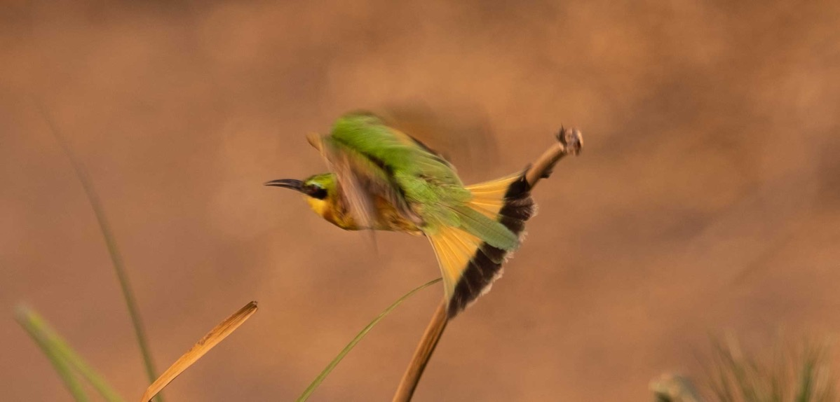 Little bee eater in flight
