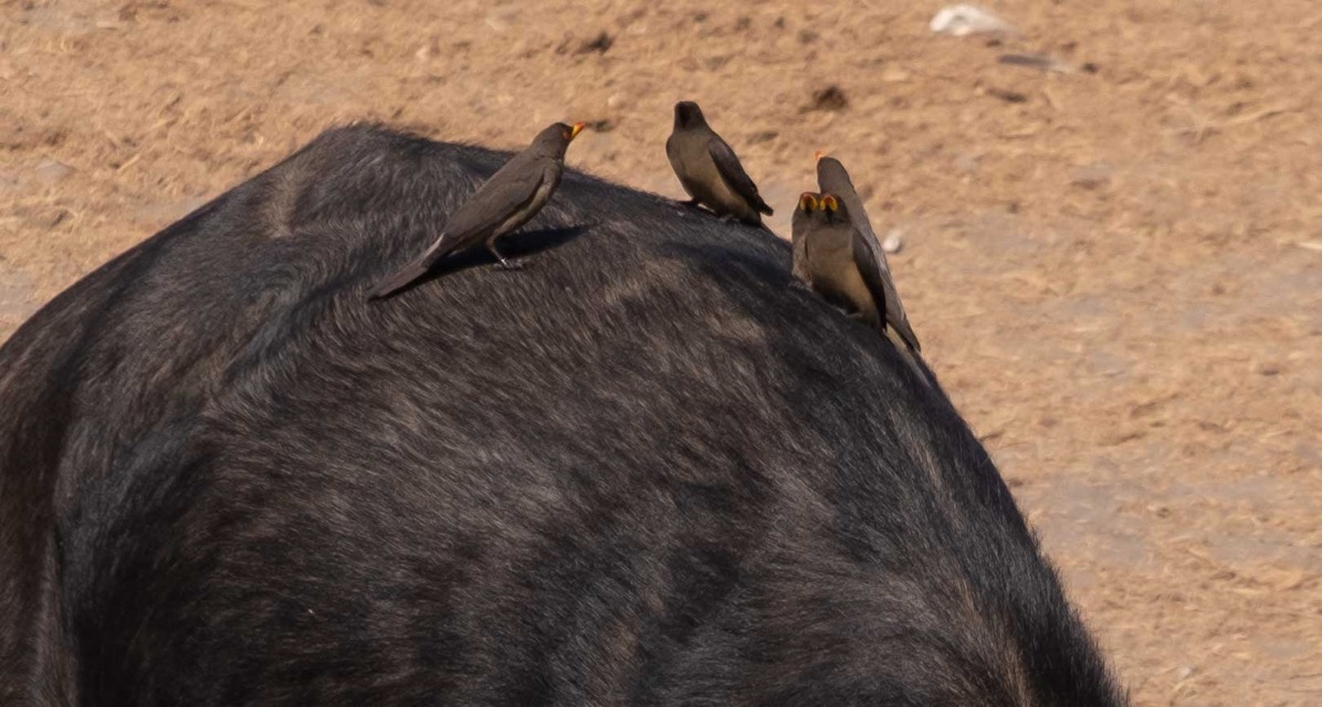 Oxpeckers on cape buffalo