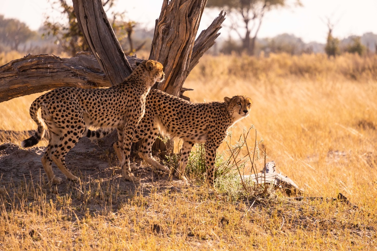 Two cheetahs standing