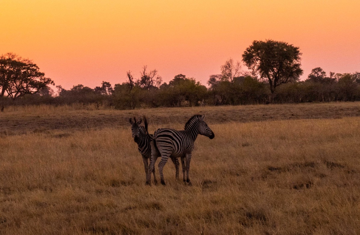 Two young zebras at sunset