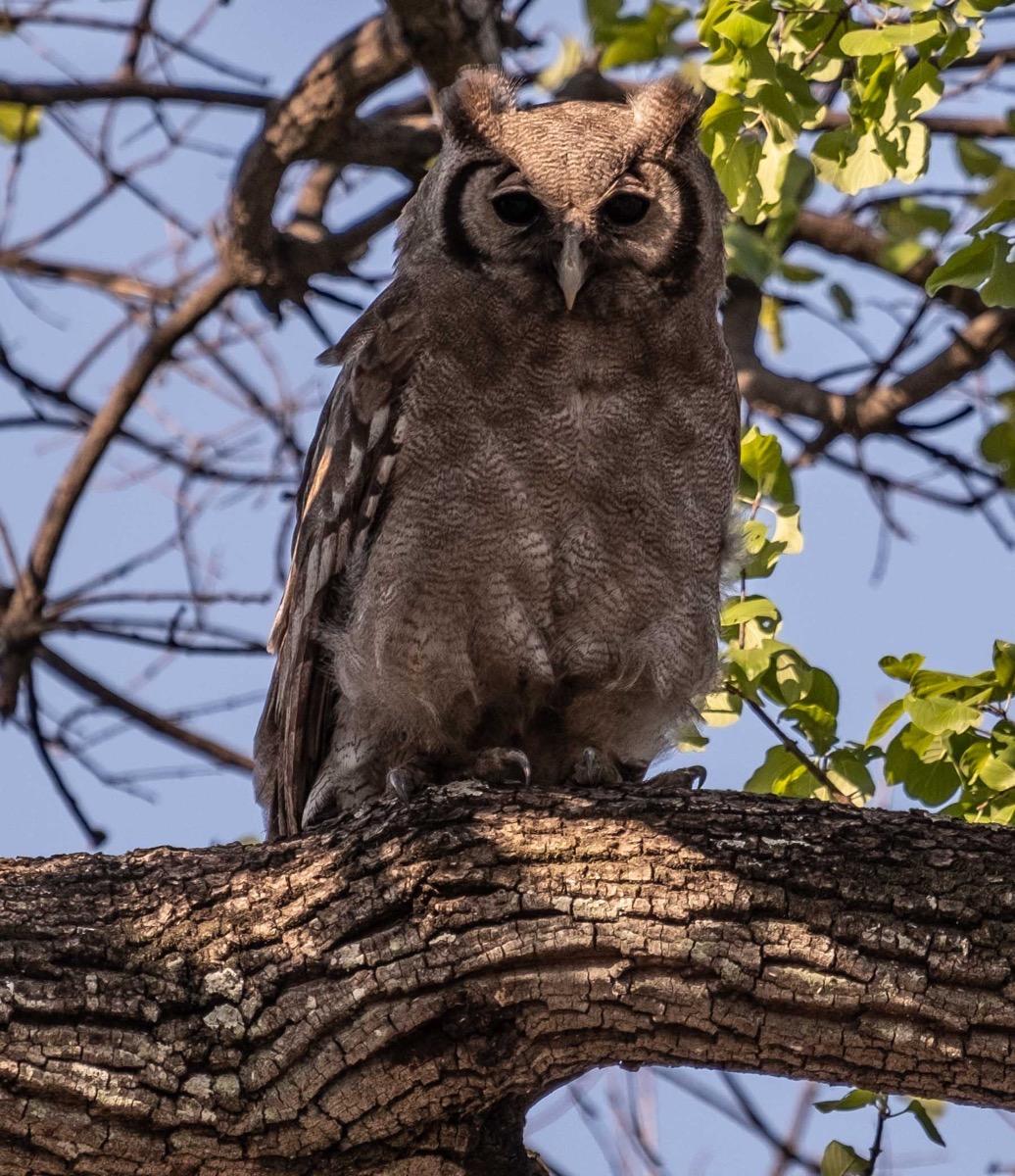 Verraeux s eagle owl