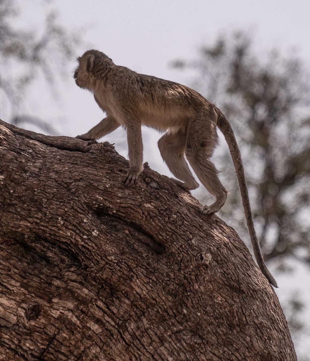 Vervet monkey 2