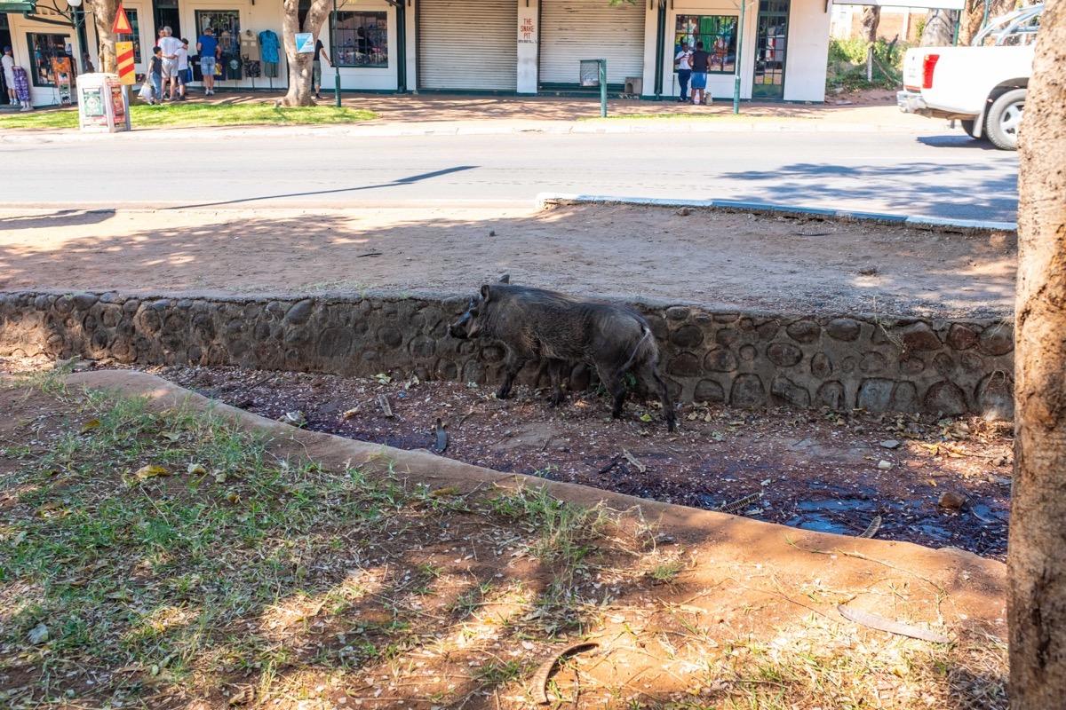 Warthog in culvert