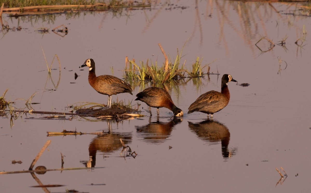 Whitefaced whistling ducks 2 w reflection