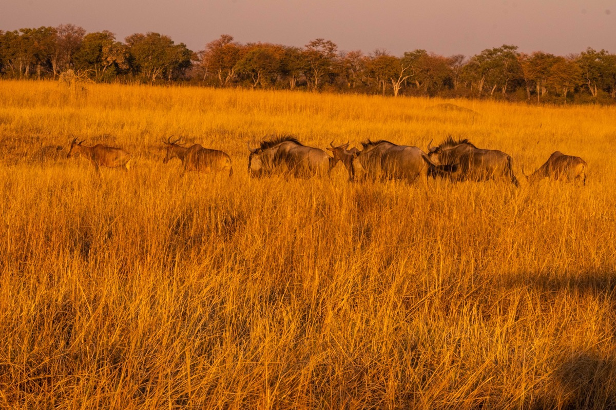 Wildebeest herd in late sun