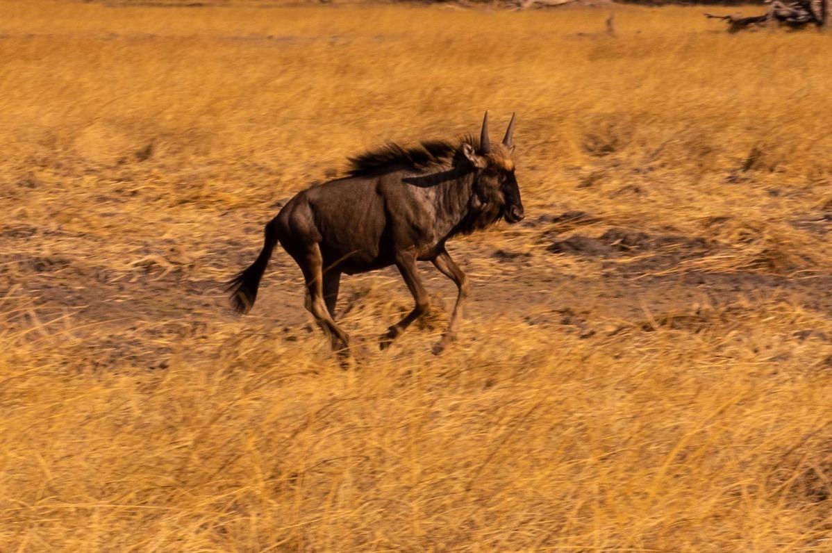Wlldebeest running