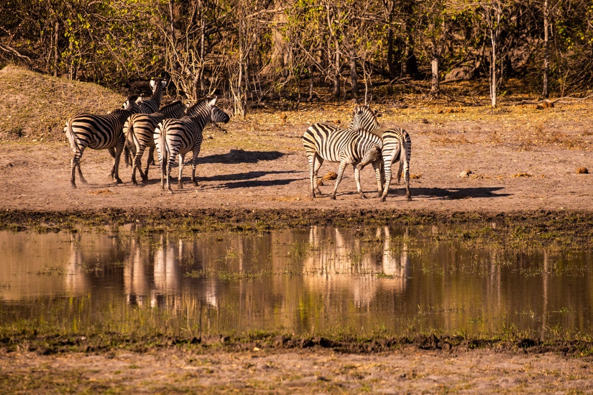 Zebras on way to khwai