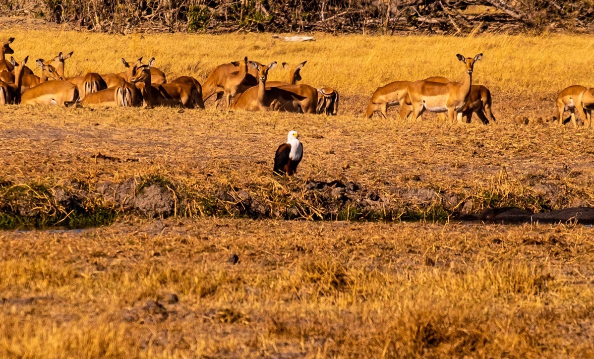 Fish eagle and impalas