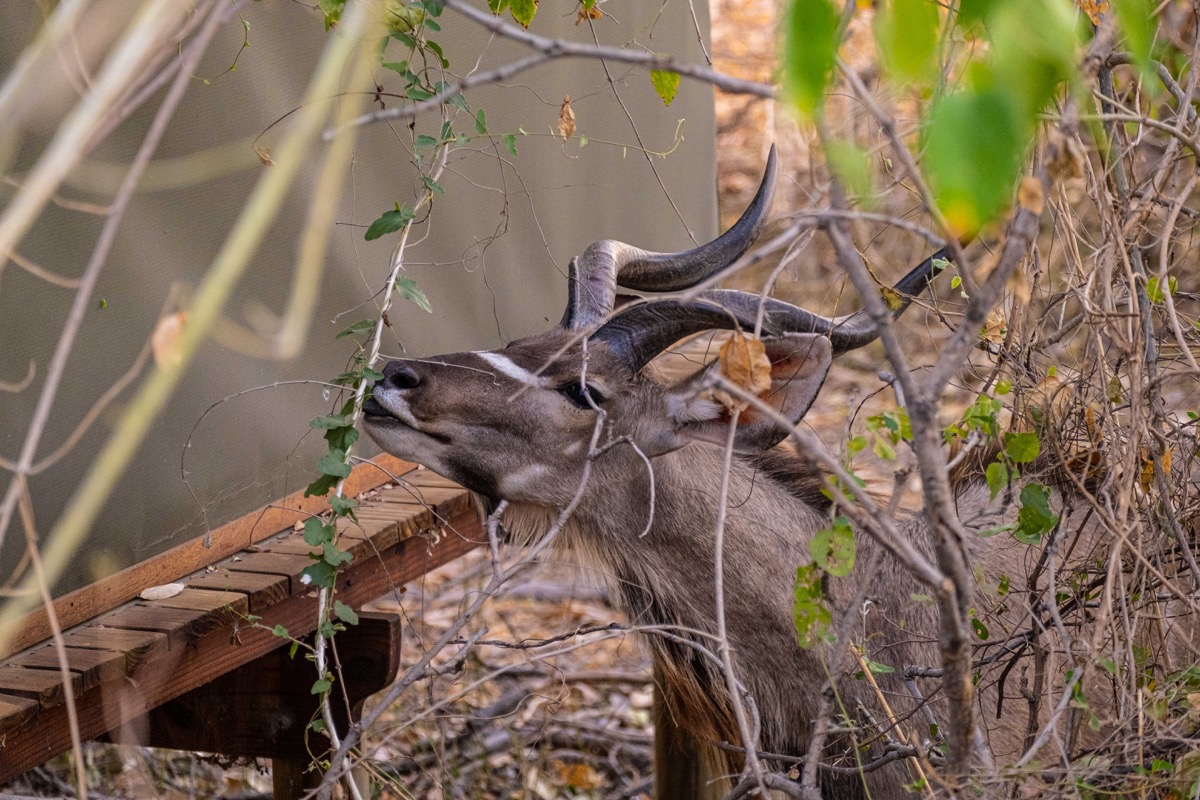 Kudu outside tent
