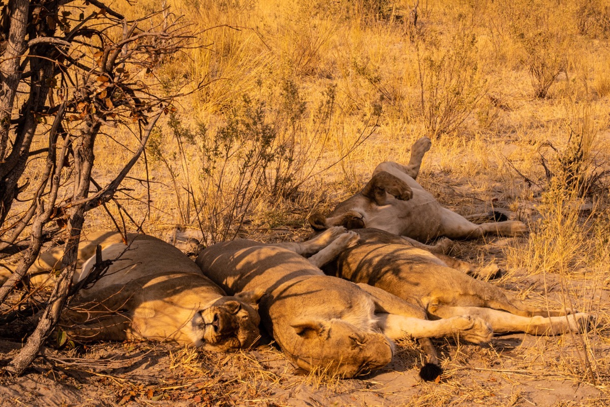 Pride of lions sleeping