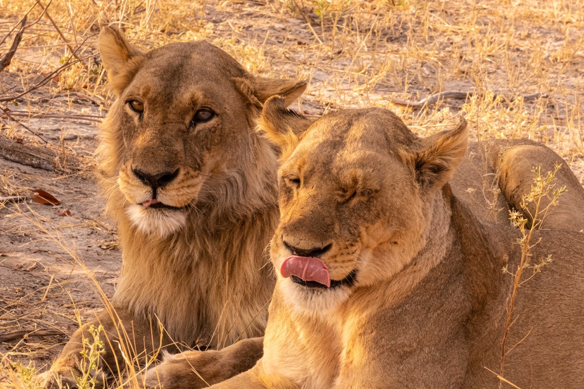 Two lion sisters l